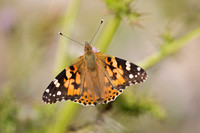 Painted Lady - Salthouse