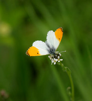 Orange-tip (2) - Naresborough