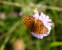 Dark Green Fritillary - Sharpenhoe