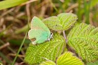 Green Hairstreak - Bison Hill