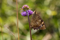 Speckled Wood - Pegsdon