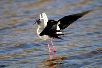 Black-winged Stilt (6) - Lesbos08