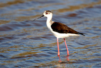 Black-winged Stilt (9) - Lesbos