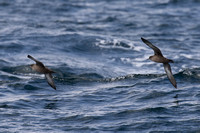 Sooty Shearwaters - Pelagic, Scilly 020815