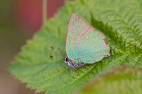 Green Hairstreak 4 - Bison Hill