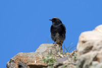 Black Redstart - Pyrenees May 16