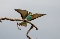 Bee-eater - Los Monegros May 16