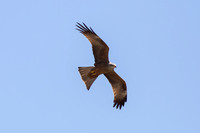 Black Kite - Pyrenees May 16