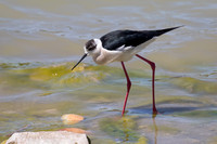Black-winged Stilt 7 - Los Monegros May 16