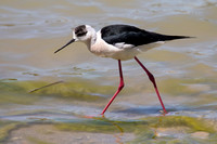 Black-winged Stilt - Los Monegros May 16