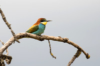 Bee-eater 5 - Lleida May 16