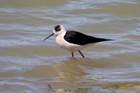 Black-winged Stilt 3 - Los Monegros May 16