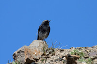 Black Redstart 2 - Pyrenees May 16
