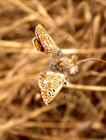 Brown Argus - Portugal
