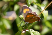 Brown hairstreak 5- Oxon