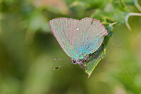 Green Hairstreak - College Lake