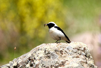 Black-eared Wheatear - Lesbos08