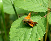 Large Skipper - Fermyn
