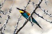 Bee-eater (3) - Lesbos08