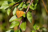 Brown hairstreak 4- Oxon