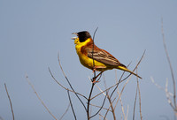 Black-headed Bunting - Lesbos08