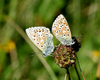 Adonis Blues mating - Martin Down