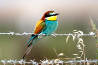 Bee-eater (7) - Lesbos08