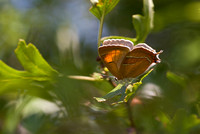 Brown hairstreak - Oxon