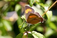 Brown hairstreak 7- Oxon