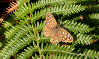 Speckled Wood (2)- Scilly