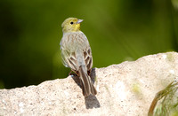 Cinerous Bunting (3) - Lesbos08