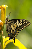 Swallowtail - Hickling