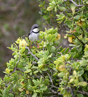 Bar-throated Apalis (3)