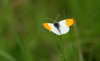 Orange-tip - Naresborough