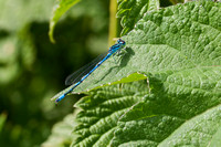 Azure Damselfly 3 - Lakenheath