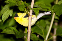 American Goldfinch - Rondeau