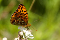 High Brown Fritillary 2 - Arnside2O6Y3469