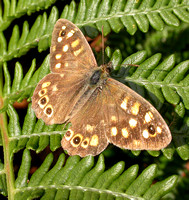Speckled Wood - Scilly