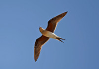 Collared Pratincole (2) - Lesbos08