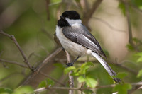 Black-capped Chickadee - Long Point