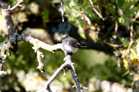 Collared Flycatcher - Lesbos08