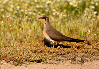 Collared Pratincole (3) - Lesbos08