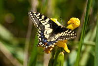 Swallowtail 4 - Hickling