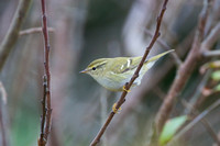Yellow-browed Warbler - St Marys