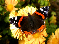Red Admiral - St Marys