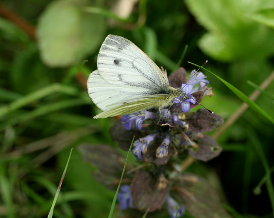 Green Veined White  -  Oaken Wood