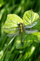 Club-tailed Dragonfly 4 - Finedon 180514