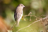Common Rosefinch 2 - St Marys