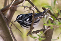 Black and White Warbler 2 - Long Point
