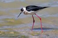 Black-winged Stilt 5 - Los Monegros May 16